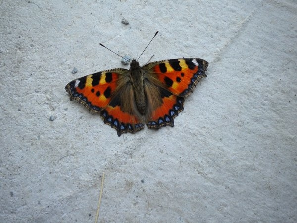 Butterfly Leitrim