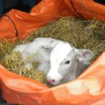 Calf in a bed of straw